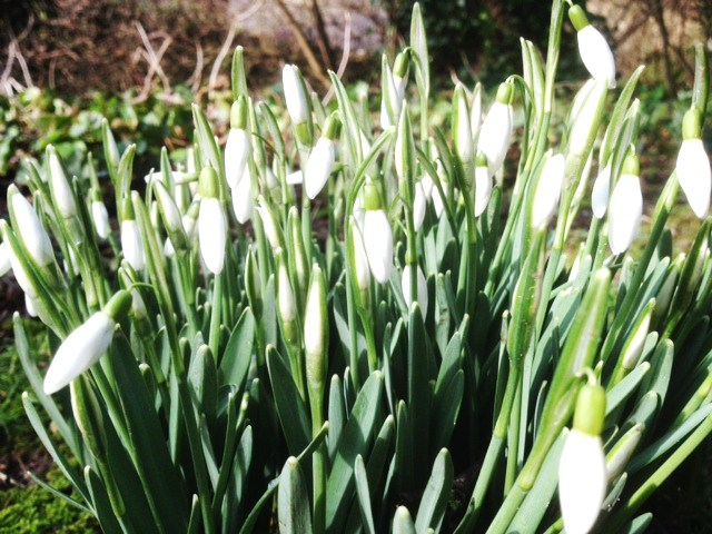 snowdrops brightened